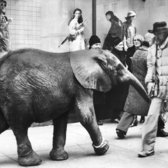 "March 1980: ""Please keep walking and react to the elephant,"" instructed the man with the megaphone who trailed the creature; apparently, it was for a film. But if this picture is any indication, it seems the window mannequins were more reactive than your average New Yorker, right, who just wanted to get where he was going."""