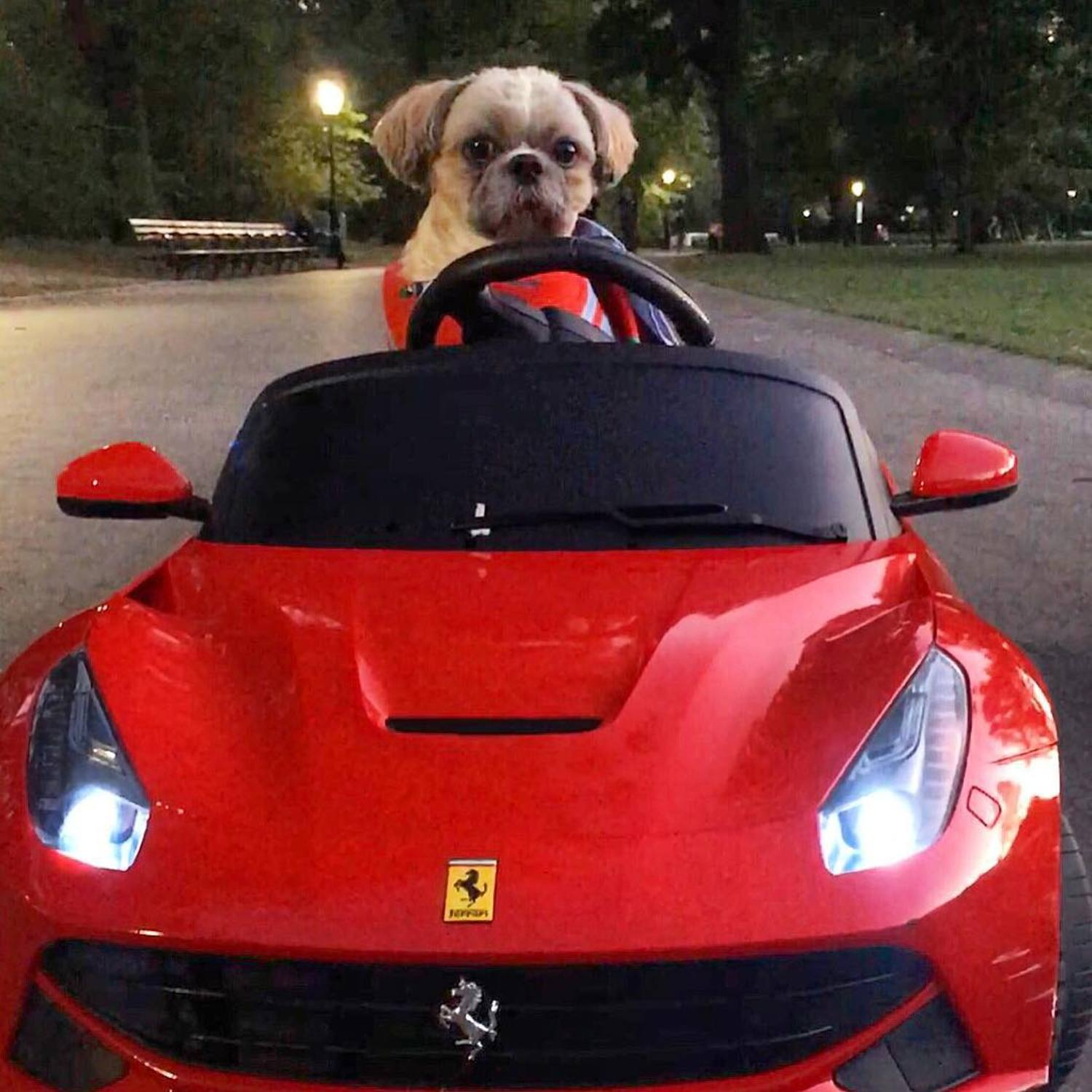 Little Red Riding Hood drives over Sheep Meadow and through the Great Lawn to Grandmother's garage....and thinks maybe @ferrariusa ran over the big bad wolf 👀 #fairytail #littleredridinghood #dogs #afterdark #shihtzu #petstagram #dogsdrivingcars