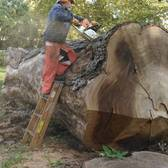 One of NYC's Largest Trees Lived in Prospect Park