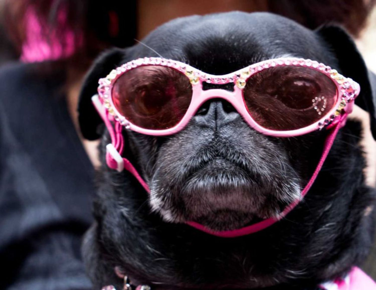 Floppy ears and a short snout can't stop these stylish shades.