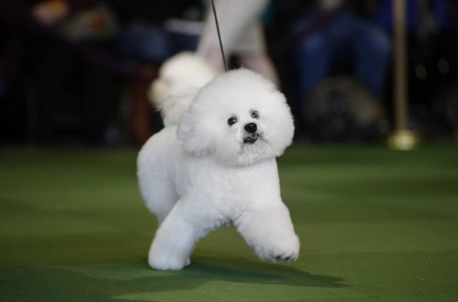 A Bichon Frise is walked in the ring during competition in the Non-Sporting Group at the Westminster show, February 16, 2015.