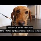 NYPD Counterterrorism K9's