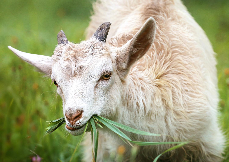 Kid goat eating grass