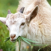 Kid goat eating grass