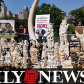 Millions of dollars worth of ivory crushed in NYC