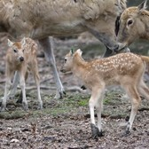 Père David's Deer Fawns | Bronx Zoo