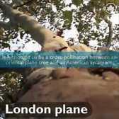 Meet NYC's Trees: London Plane