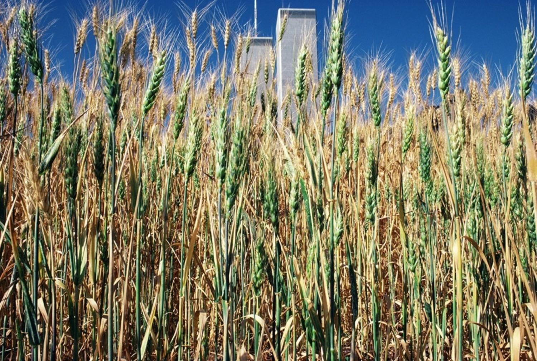 Green wheat turning