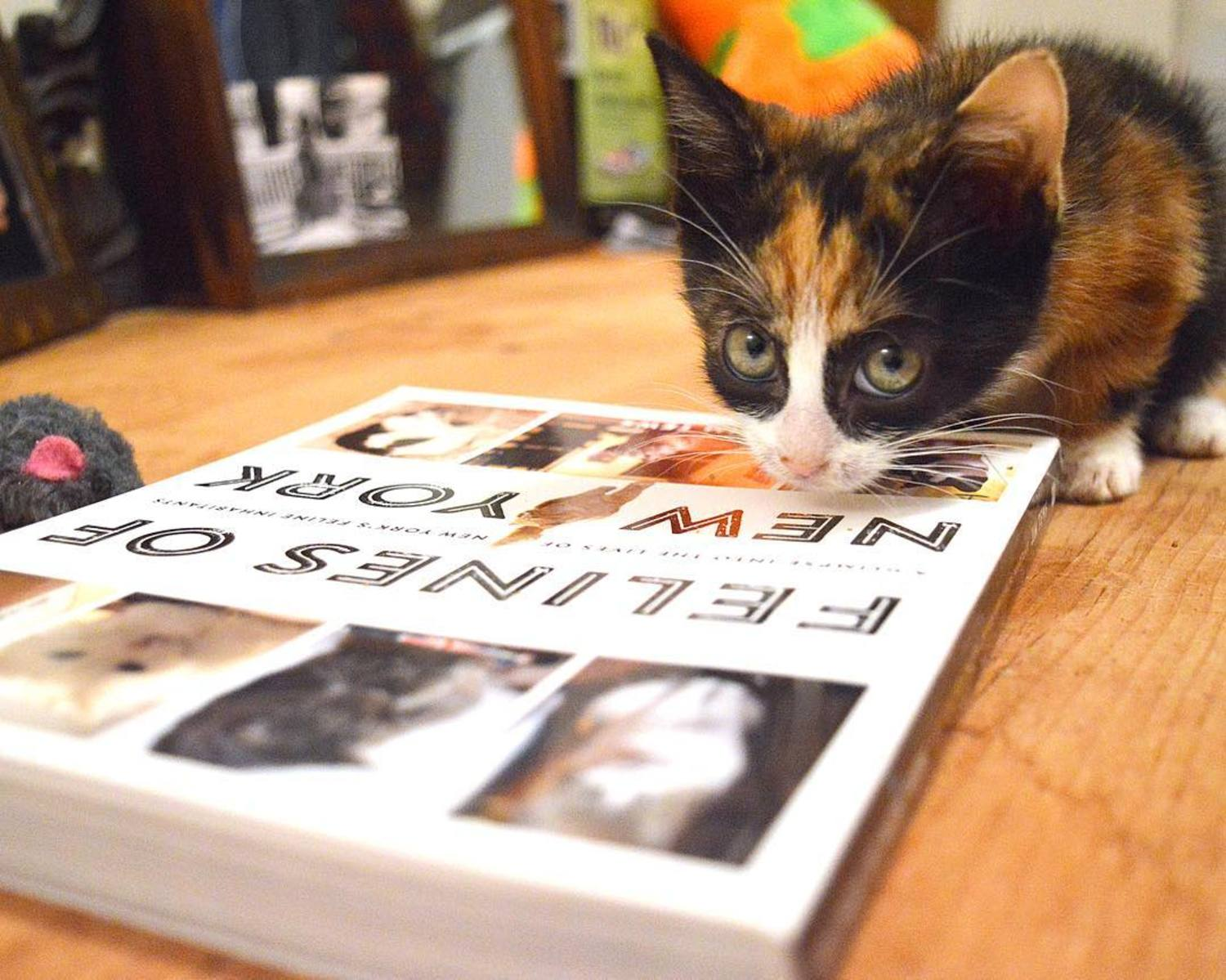 "This foster kitten, Cinnamon, can't read. But if it could, I'm sure it would truly enjoy a copy of the book ""Felines of New York"". Grab a copy online for cyber Monday, or go pick one up wherever you buy books.  And thanks to all of you who've bought a copy already! Rate it on Amazon or Goodreads if you're feeling generous and/or bored. - Jim"