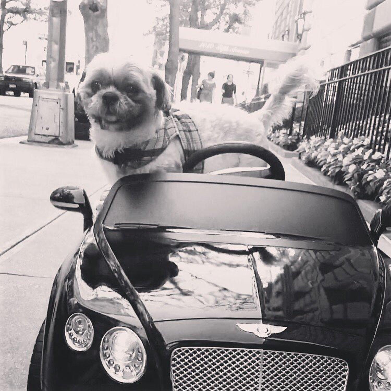 In A Sweetheart Deal, Luigi Trades His BMW For A Bentley #shihtzu #ilovenyc #bentley #dogsofinstagram #dogsdrivingcars #vroomvroom