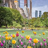 Tulips in Central Park, Manhattan