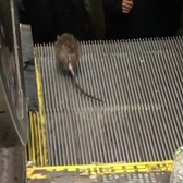 Rat rides New York City escalator