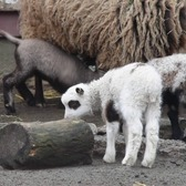 Spring lambs frolic at the Staten Island Zoo