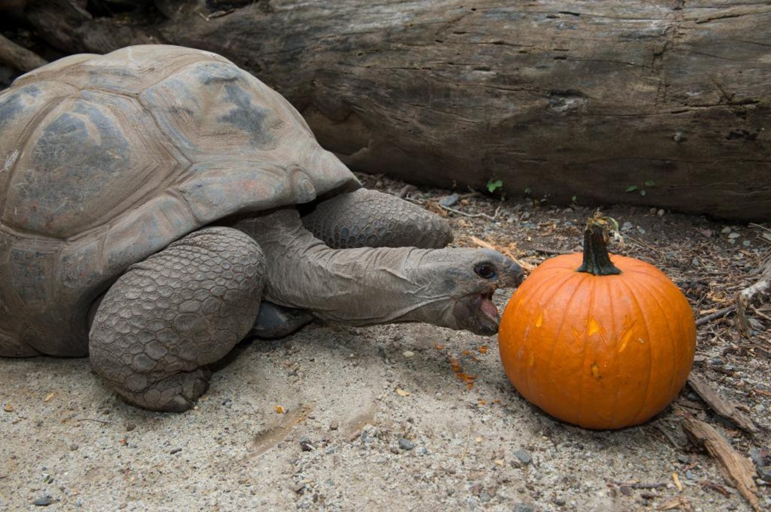 Keep your eyes peeled around the zoo today, some of our animals are getting holiday pumpkin treats! http://t.co/VHlM6SM94s