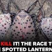 Spotted Lanternfly: Everything you need to know about tree-destroying invasive pest