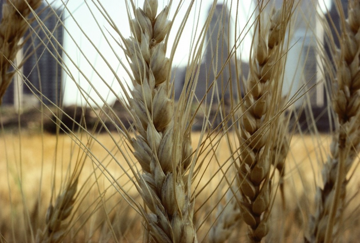 Golden wheat (close-up)