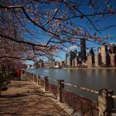 Spring Blooms on Cherry Tree Walk - A Hyperlapse on Roosevelt Island