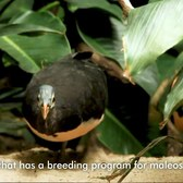 Inside the Zoo: Maleo | Bronx Zoo