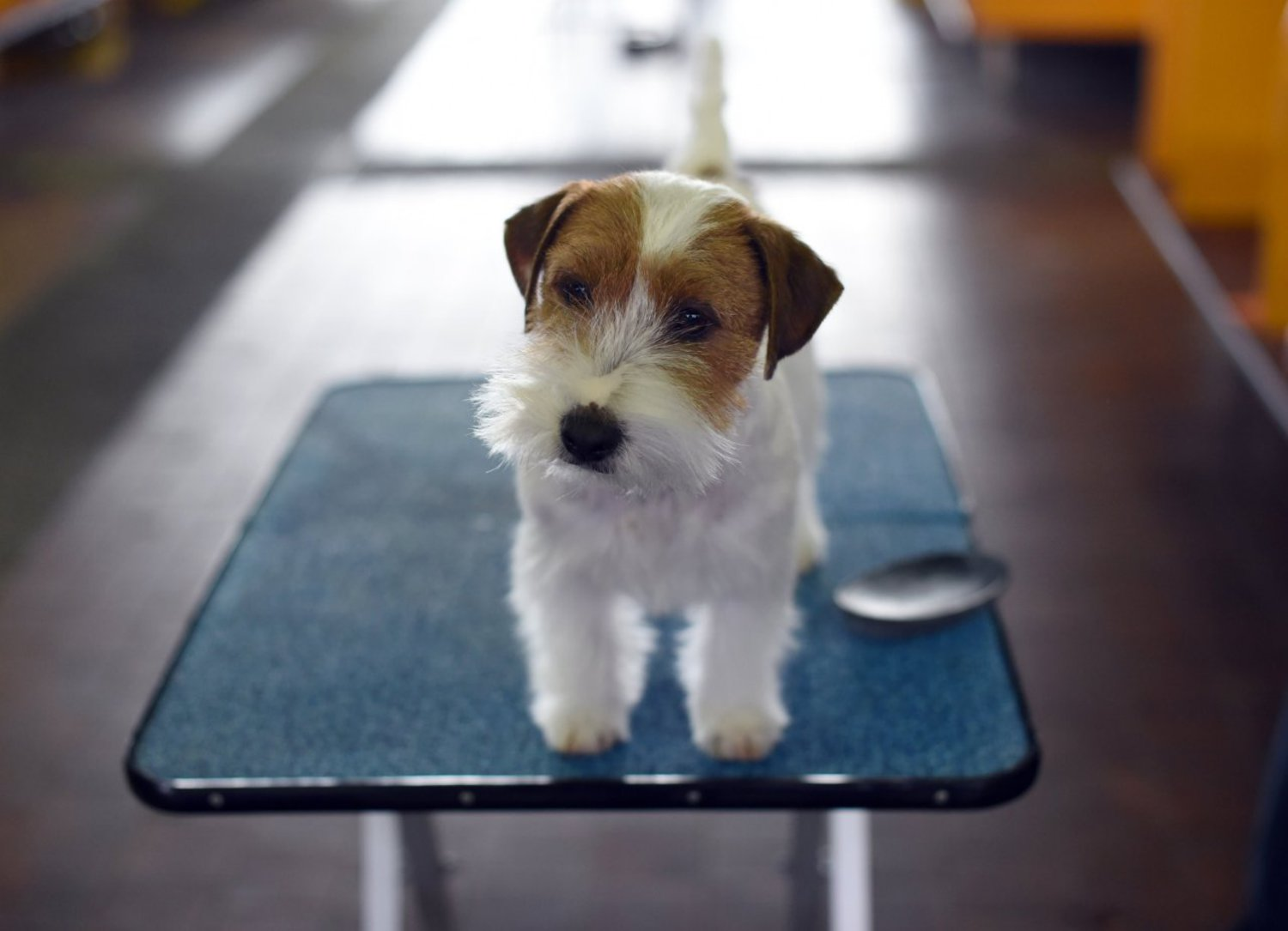 A Jack Russell Terrier in the benching area on the second day of competition at the Westminster show, February 17, 2015.