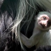 Angolan Black-and-white Colobus Monkey Baby | Bronx Zoo
