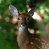 WildlifeNYC: Tips for Coexisting with White-tailed Deer