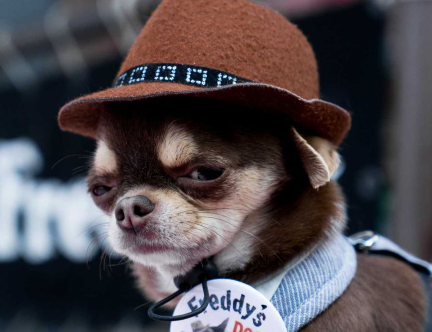 A brown fedora is perfect for the rough-and-tough dog who still wants to look adorable.