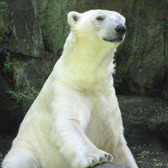 Tundra the Polar Bear resides at the Bronx Zoo.