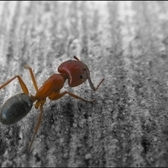 Ant | I was with Victoria when we found this ant. Somehow, Victoria froze the ant in place and he wouldn't move, letting me take a picture of him.  Selective coloring!