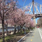 Roosevelt Island Cherry Blossom Tree Walk - I'ts Beautiful
