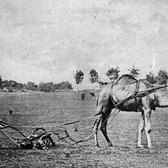 Camel Mowing in Sheep Meadow, Central Park, 1869.