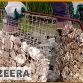 🗽 Bringing a billion oysters back to New York harbor | Al Jazeera English