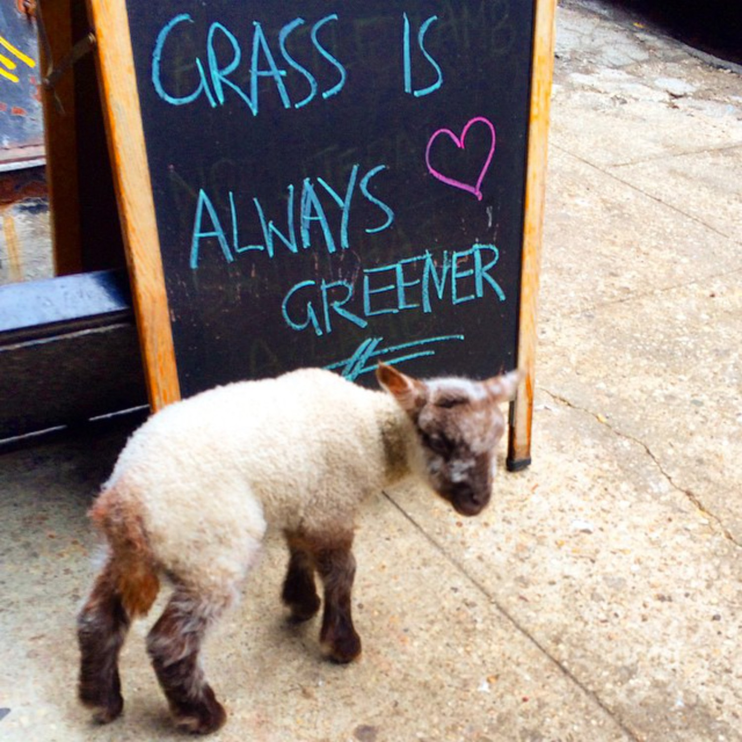 Smokey, here! Reminding everyone to come eat at Black Tree, where the grass is always greener... well, except for the ducks. Whatever. I'm just glad it isn't me week! #duckweek #blacktreenyc #local #farmtotable #farmtocity #sheeptochef #smokeydalamb #mamasandy #whatisgrass #cityslicker