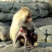 Baby Hamadryas Baboon | Prospect Park Zoo