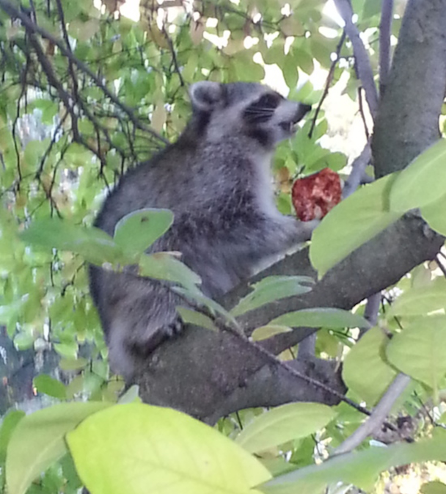 Pizza Raccoon