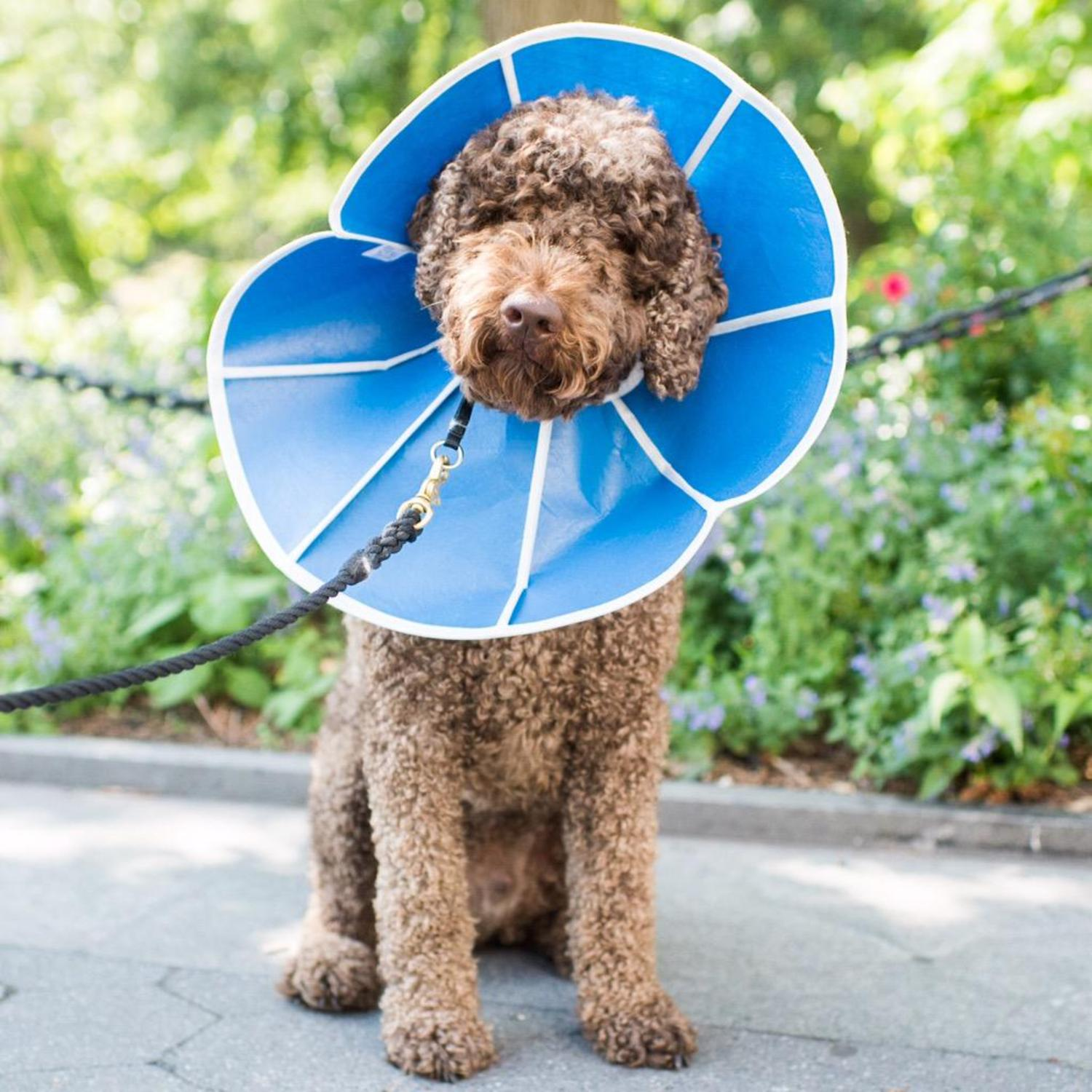 """Kiko, Labradoodle (2 y/o), Washington Square Park, NY, NY • """"He's wearing that so he doesn't lick his medicine off."""" http://t.co/QoqcPaaE87"""