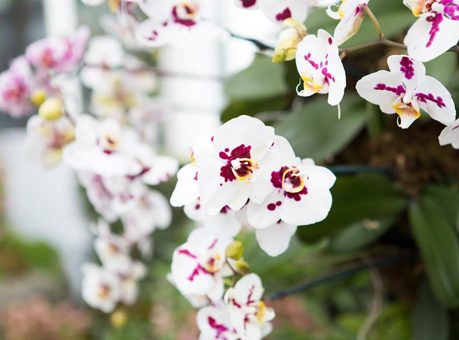"There's a reason orchids are so expensive, explained Hachadourian. ""An orchid can take on average three to four years from seed to bloom. There's a lot of time and effort to get that plant up to the size needed."""