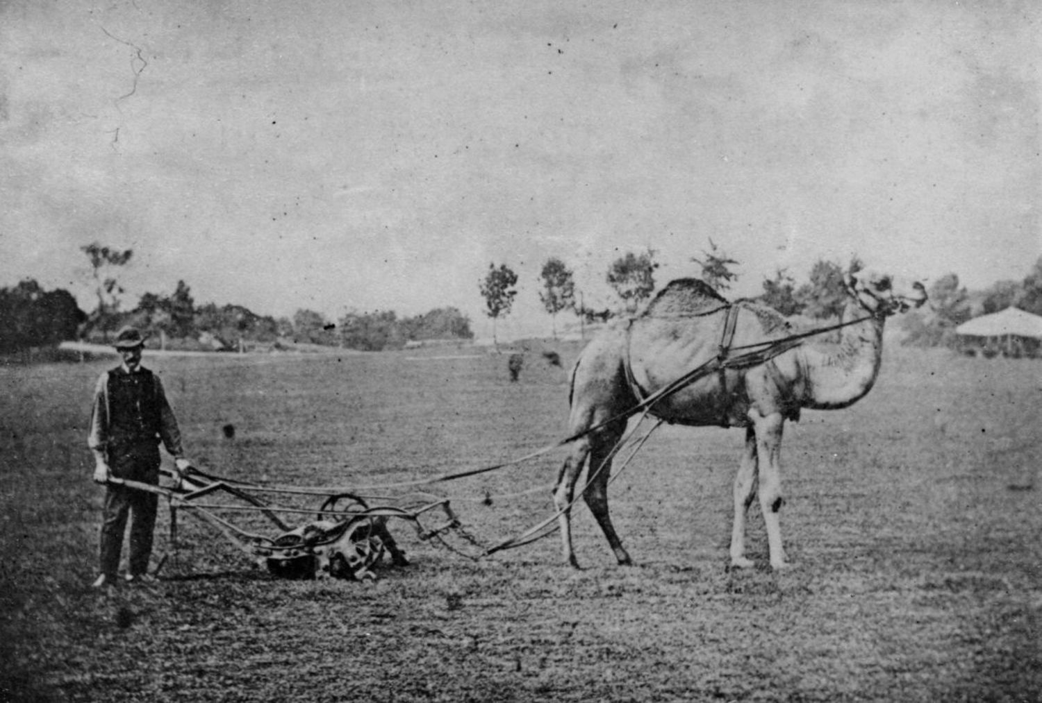 A camel hitched to a lawn mower, Sheep Meadow, Central Park, 1869.