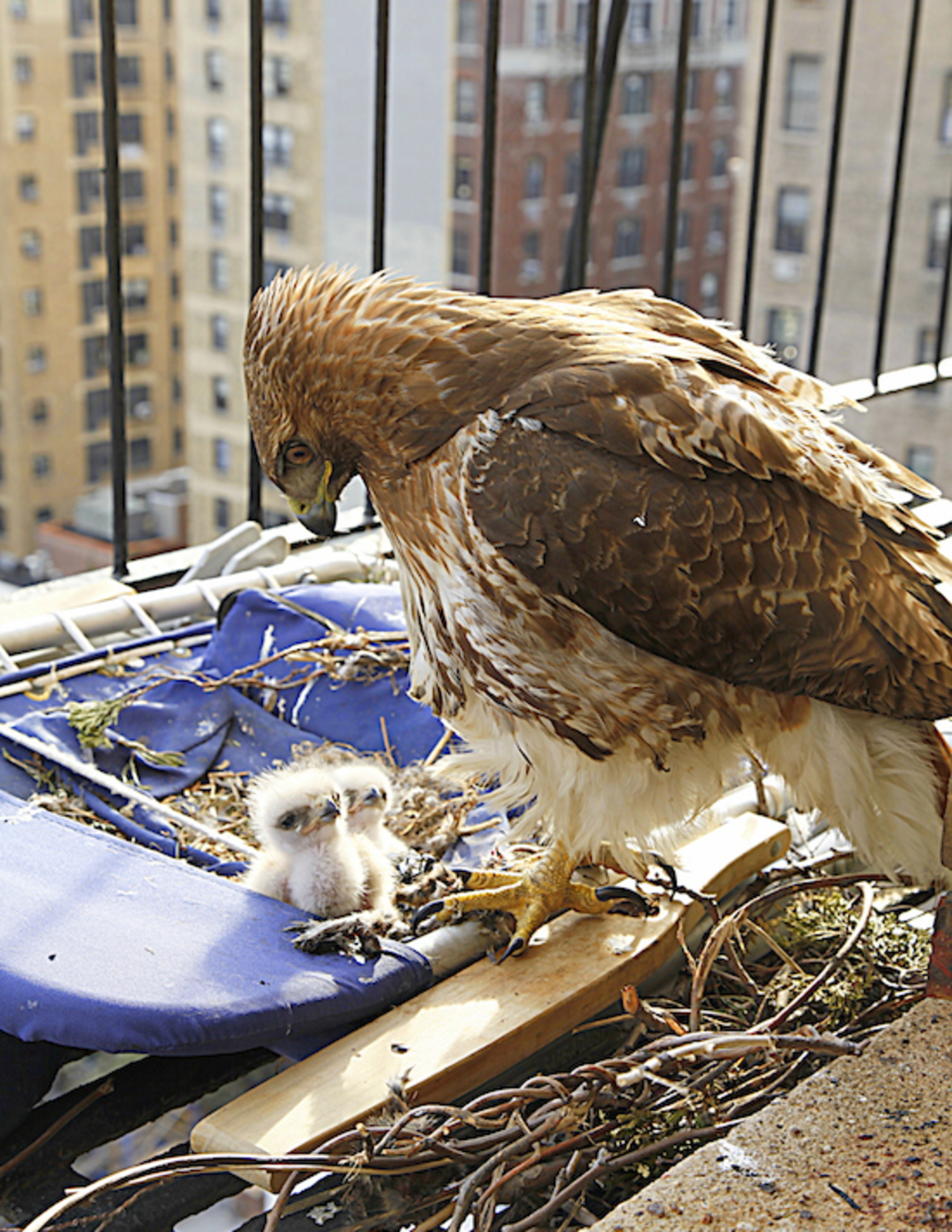Hawk Babies Hatch on UWS Fire Escape