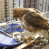 Hawk Babies Hatch on UWS Fire Escape