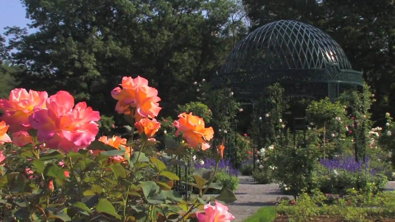 Nybgs peggy rockefeller rose garden hits peak bloom this month nybgs peggy rockefeller rose garden hits peak bloom this month viewing nyc izmirmasajfo