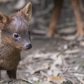 WCS's Queens Zoo Welcomes Pudu Fawn