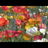Impressionism: American Gardens on Canvas