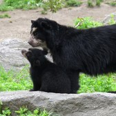 Andean Bear Cub on Exhibit | Queens Zoo