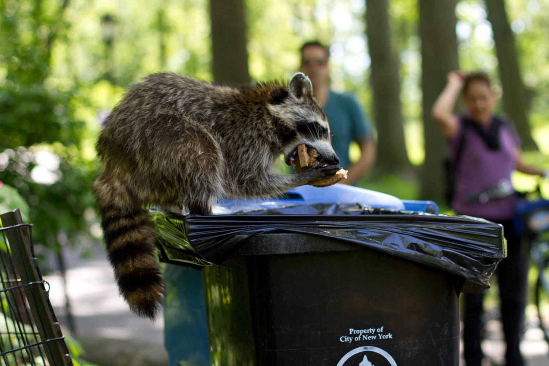 Raccoon in NYC