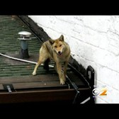 Coyote Spotted Roaming Along Roof Of Queens Bar