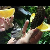 """The Butterfly Conservatory: Tropical Butterflies Alive in Winter"""