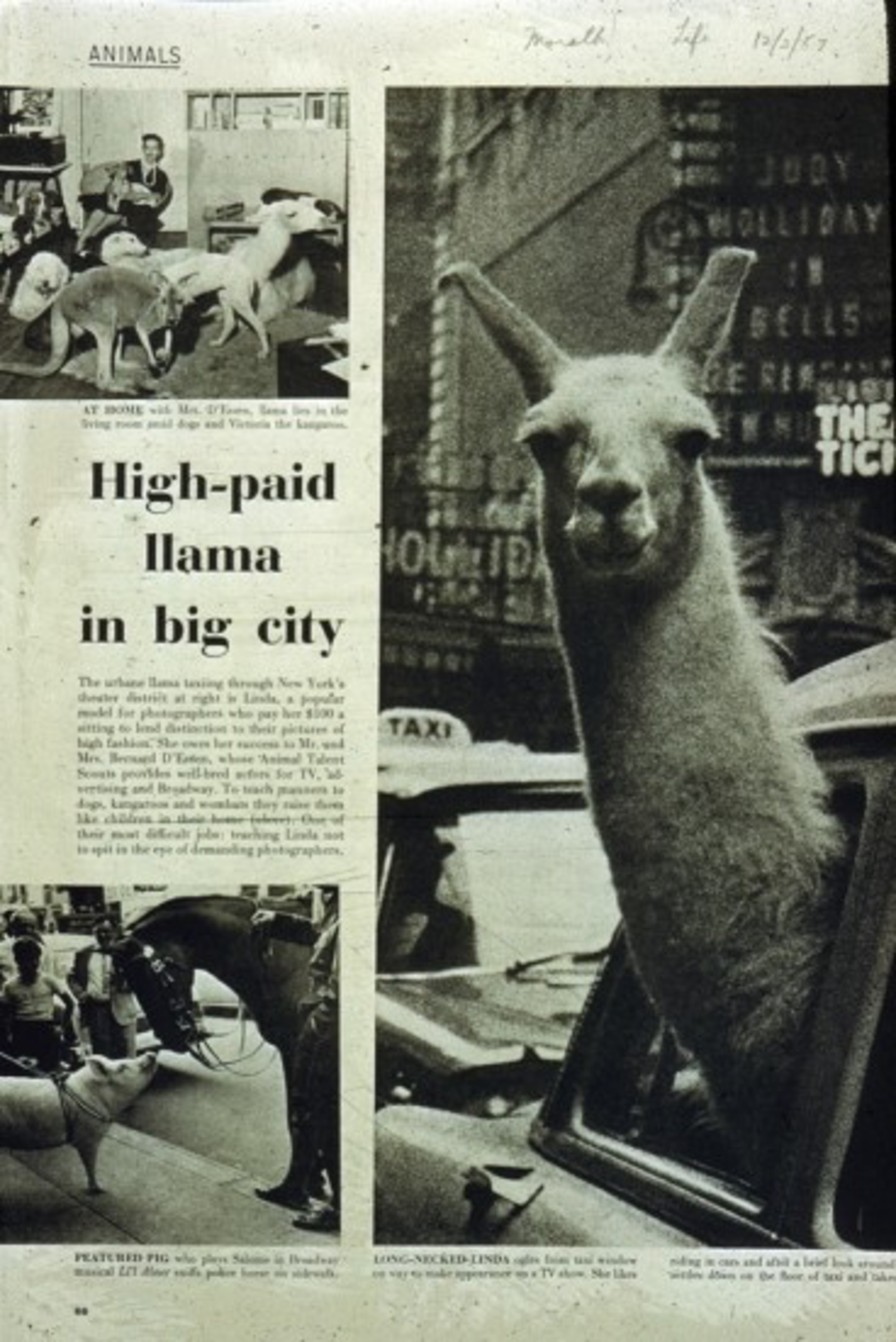 High Paid Llama in Big City, LIFE Magazine, 1957.