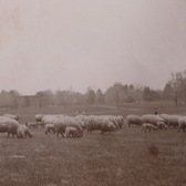 Sheep In Brooklyn's Prospect Park, 1901