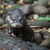 Monty, Bronx Zoo's New Baby Otter