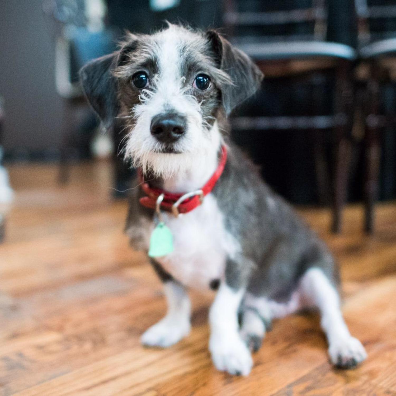 Lafitte, Jack Russell Terrier mix (10 m/o), Puppy Prom, Brooklyn, NY @lafitte_antonoff http://t.co/Q6OBjX1MjL
